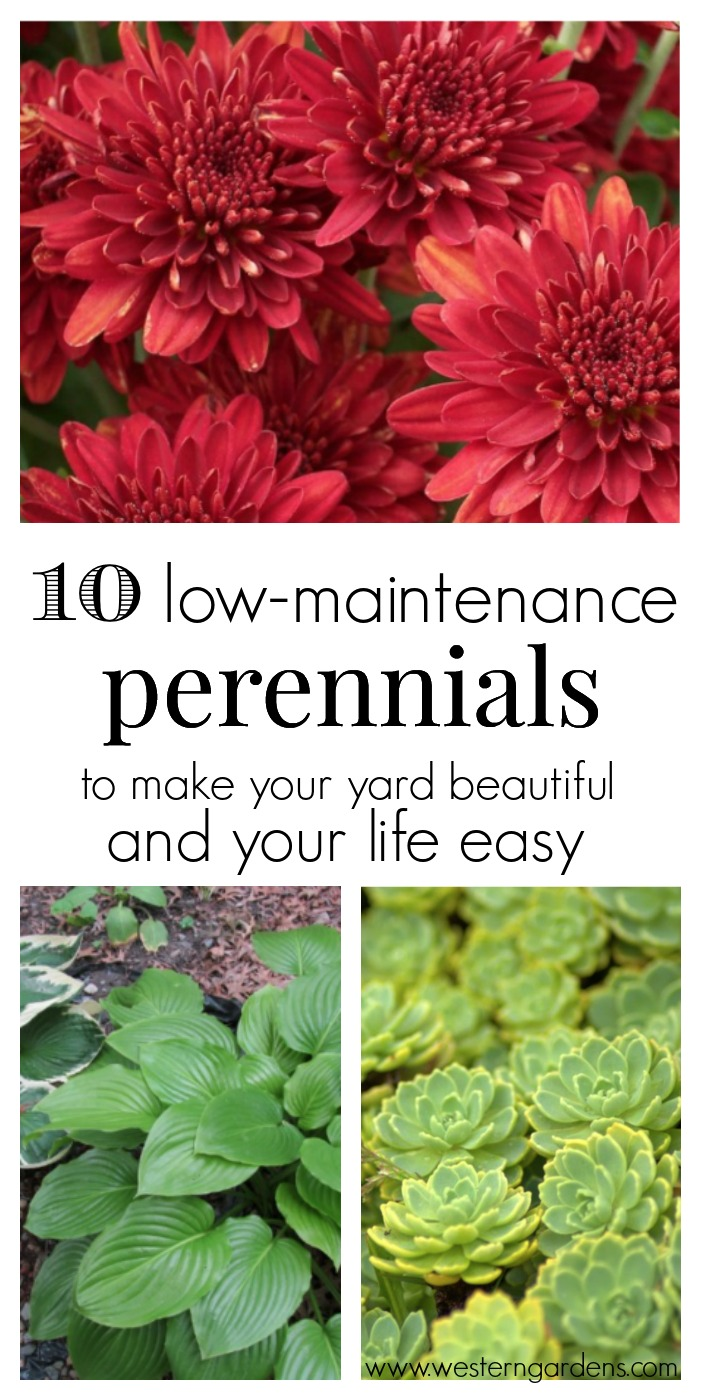 Love having a beautiful yard, but don't have a lot of time? You need these 10 low-maintanence perennials! They will make your yard beautiful and your life easier!