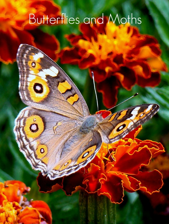 Butterflies and moths are good pollinators for your garden plants