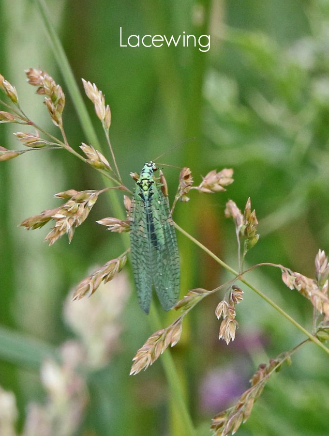 Lacewings will eat a large variety of harmful insects