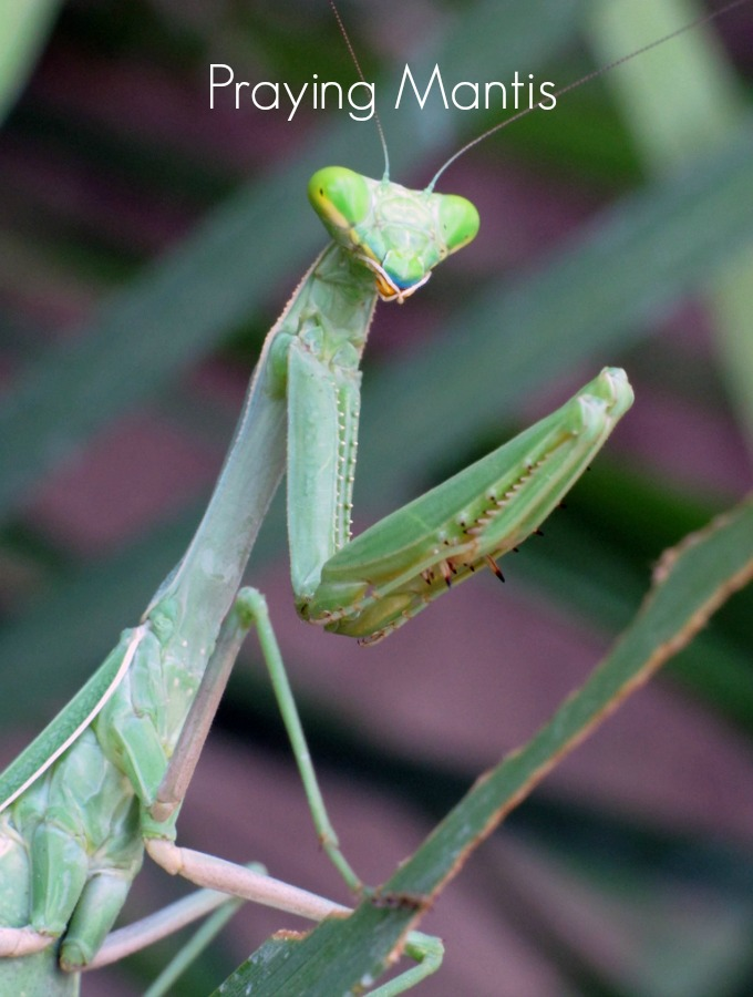 Praying mantises are so named because of how their legs are folded