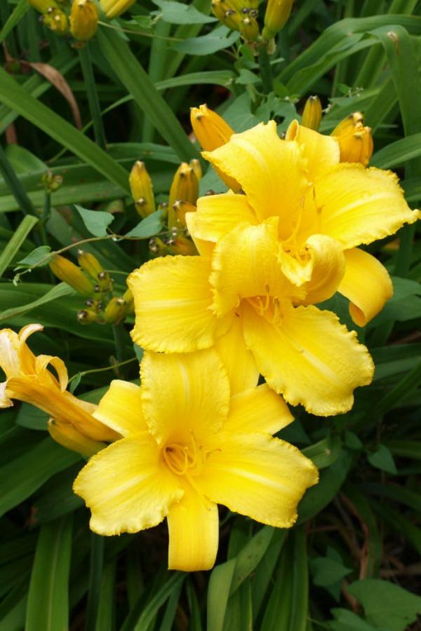 daylily pinterest
