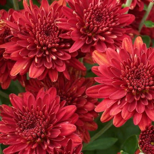 10 low maintenance perennials western garden centers for Easy maintenance perennials