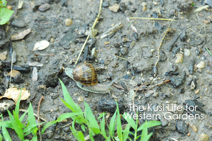 3 Ways to Get Rid of Snails www.westerngardens.com