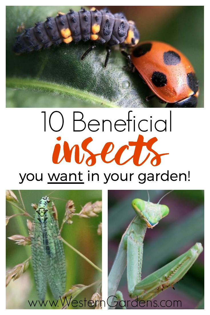 10 beneficial insects you want in your garden! If you spot these in your yard, you're in good shape!