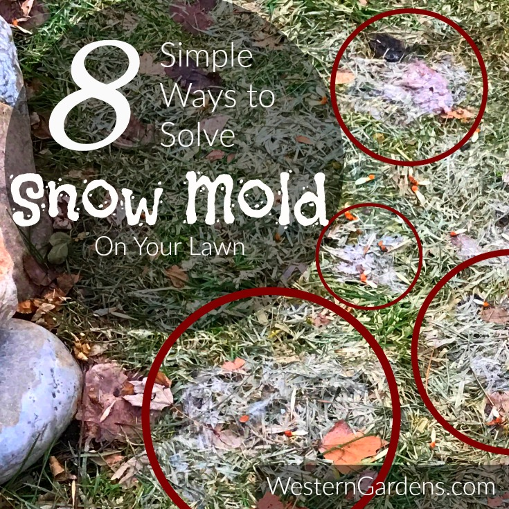 8 ways solve snow mold on lawn
