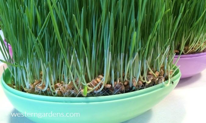 wheatgrass grows quickly.