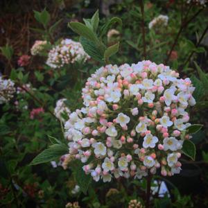 burkwood viburnum in bloom west valley western gardens