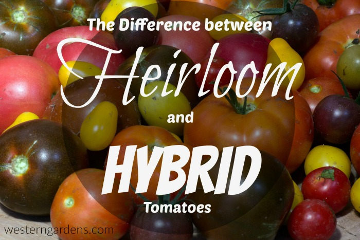 Difference between heirloom and hybrid tomatoes