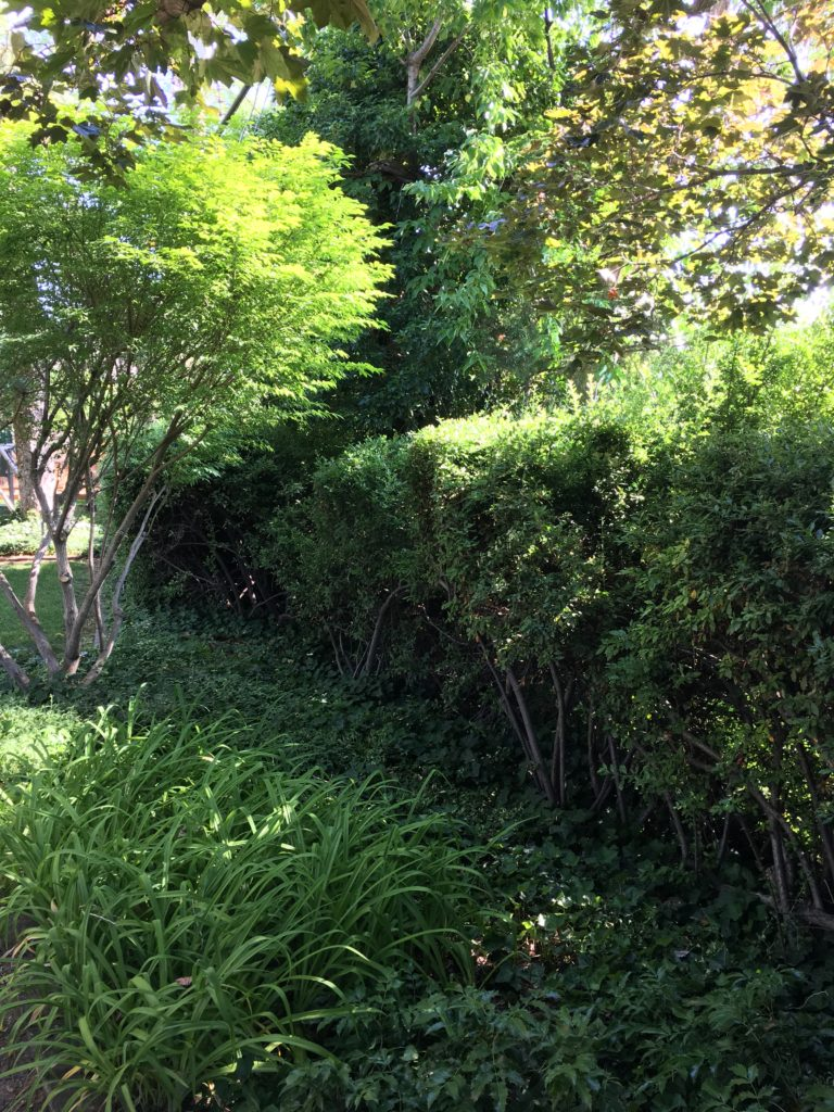 Pyracantha creates a great evergreen shrub privacy screen. No one wants to come through it!