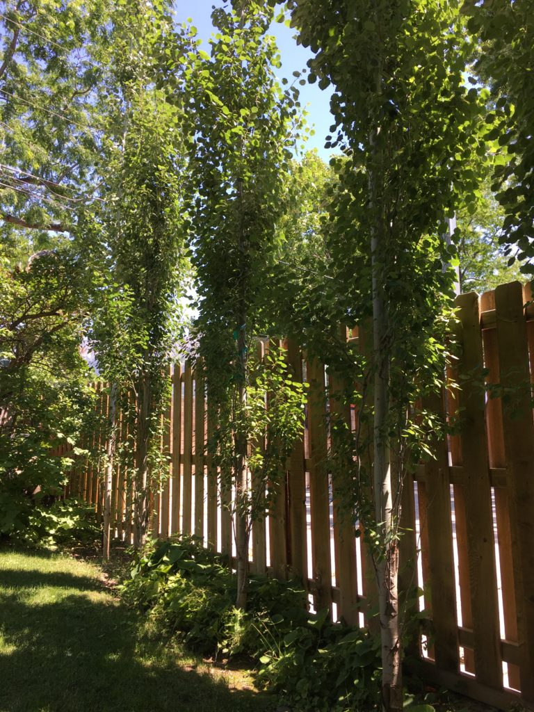 Another good green privacy screen is the swedish aspen.