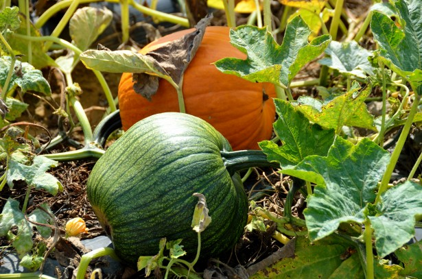 pumpkins take a longer time to mature.