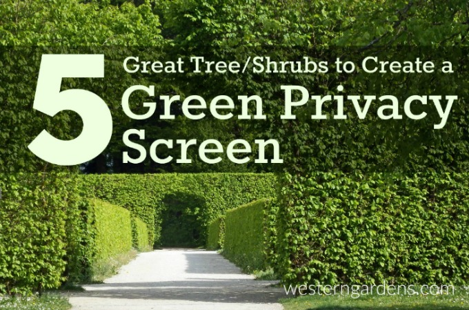 5 trees and shrubs for a privacy screen in your yard.