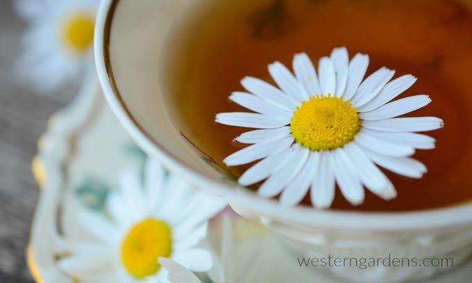 Chamomile can make a tasty tea