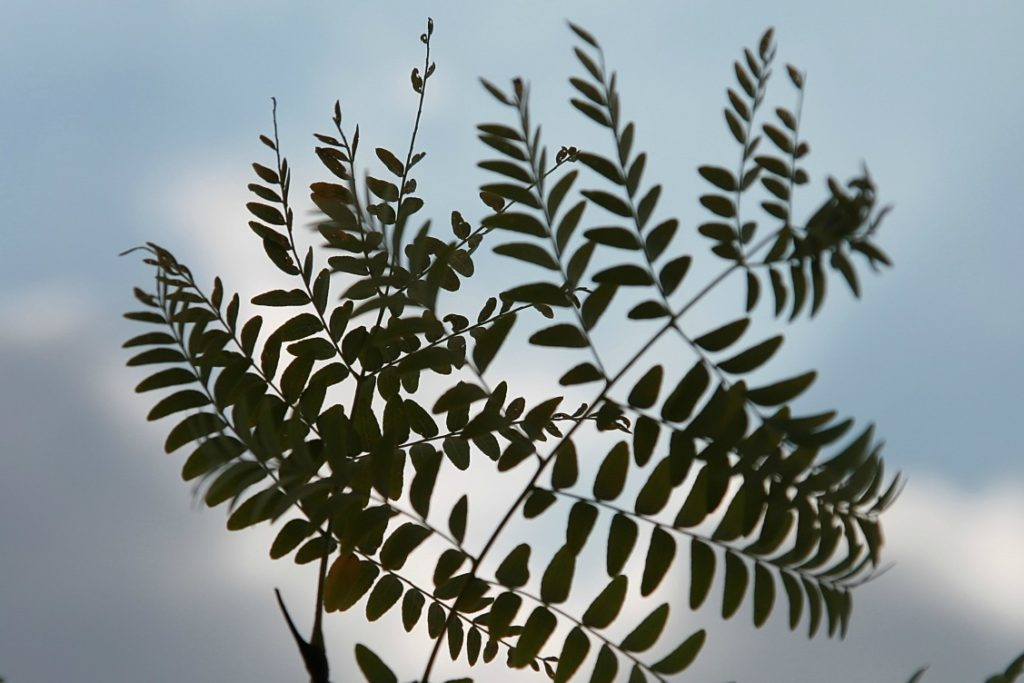 honeylocust leaves are small, light, and airy.