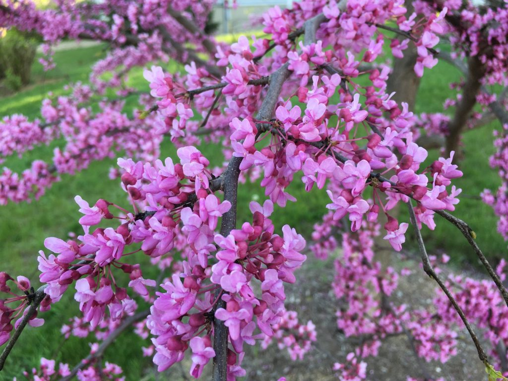 Eastern Redbud is a great tree to create shade and it is beautiful in all four seasons.