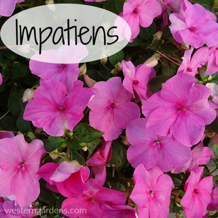 impatiens are annuals in salt lake city