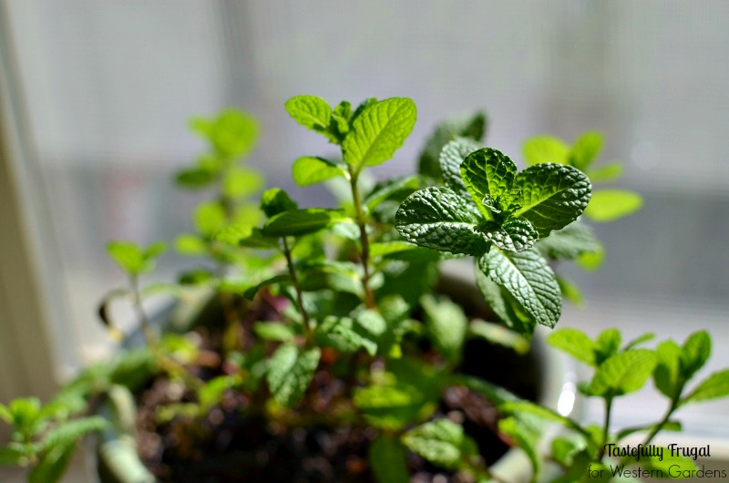 Want to start an herb garden? Here are 5 Dos and Don'ts to help get you started!
