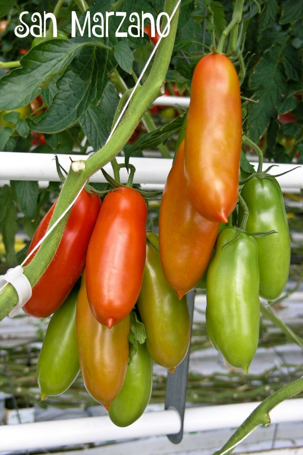 San Marzano tomatoes are renowned for use in sauces