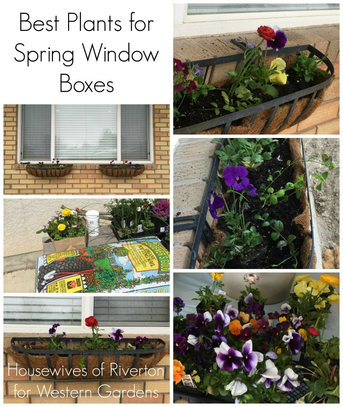 The best plants for your spring window boxes! Flowers that will survive sun and snow.
