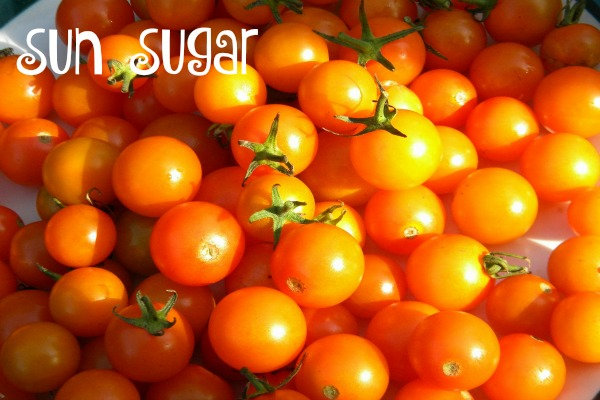Sun Sugar tomatoes are small and sweet.