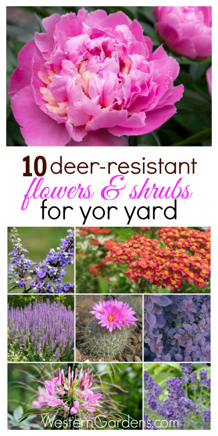 Are Deer Eating Everything You Plant Try These 10 Resistant Plants Your