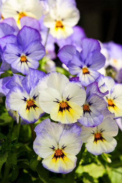 phone order your utah pansies today for curbside pickup