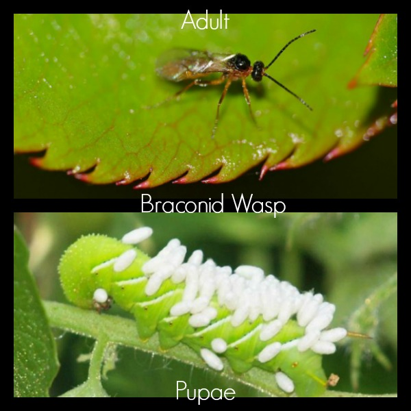 Braconid wasps lay their eggs in caterpillars
