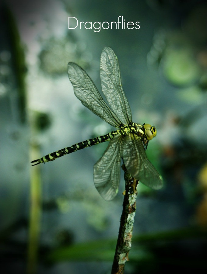 Dragonflies love pests like mosquitoes