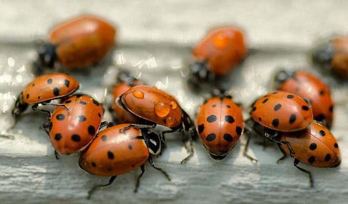 Ladybugs are definitely beneficial for your garden
