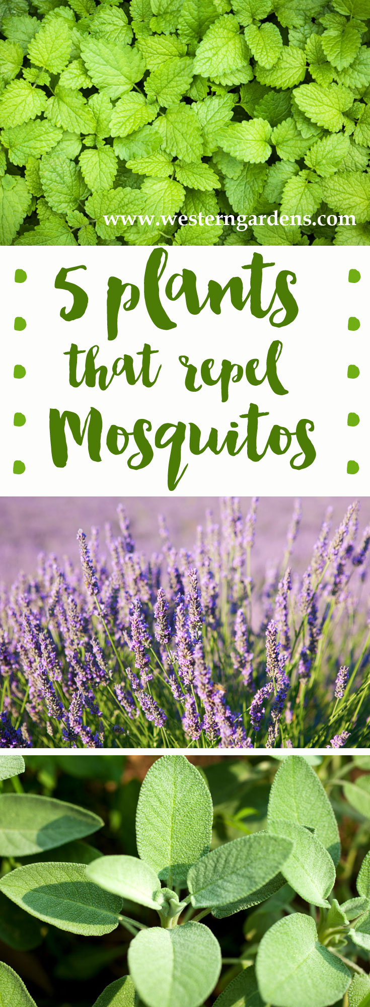 5 Plants that Repel Mosquitoes - www.westerngardens.com