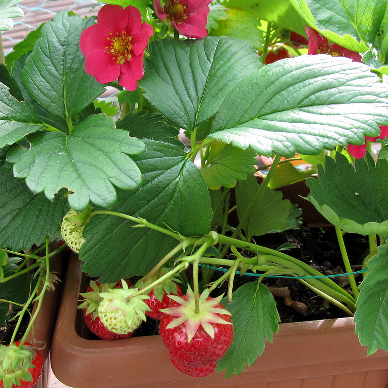 Pink flowering strawberries archives western garden centers choose a pink flowering strawberry as one of your varieties mightylinksfo