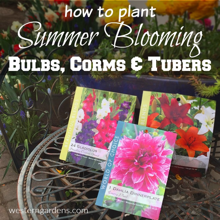 How to plant summer blooming bulbs, corms, and tubers.