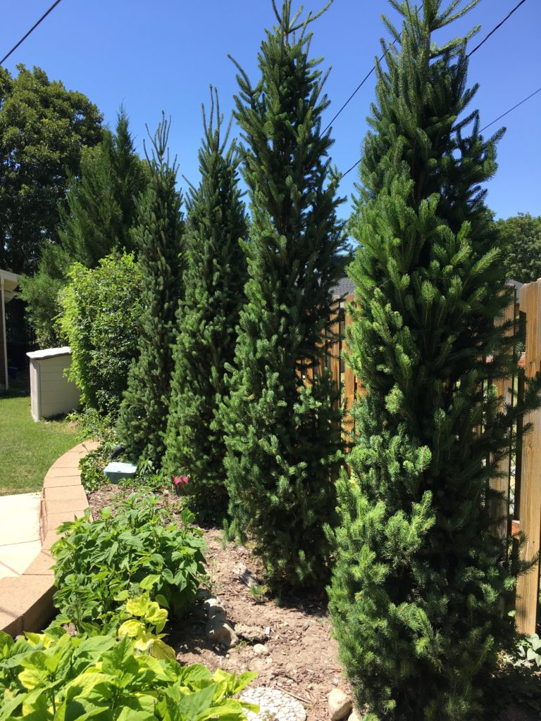 Columnar Norway spruces make a good green privacy screen.