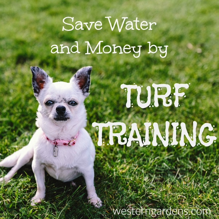 Save water and money by Turf Training - train your lawn to grow deep roots