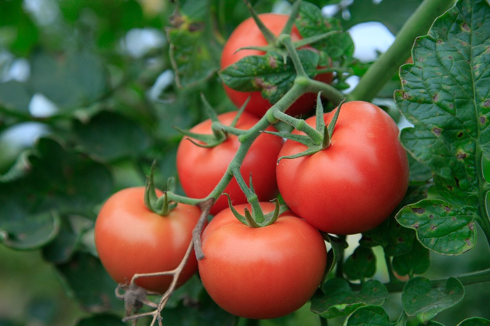 utah grown tomatoes vine ripened in your garden