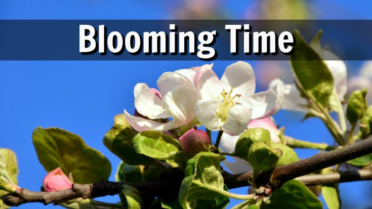 The blooming time of apple trees is important to pollinate the blossoms.
