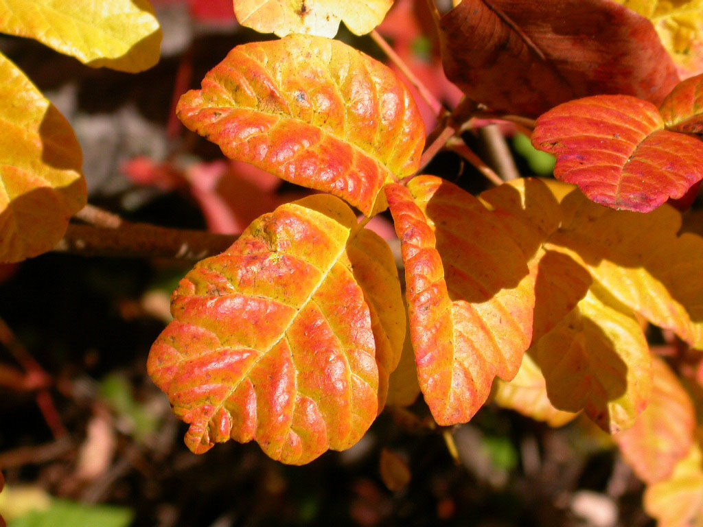 Pacific Poison Oak in the fall.