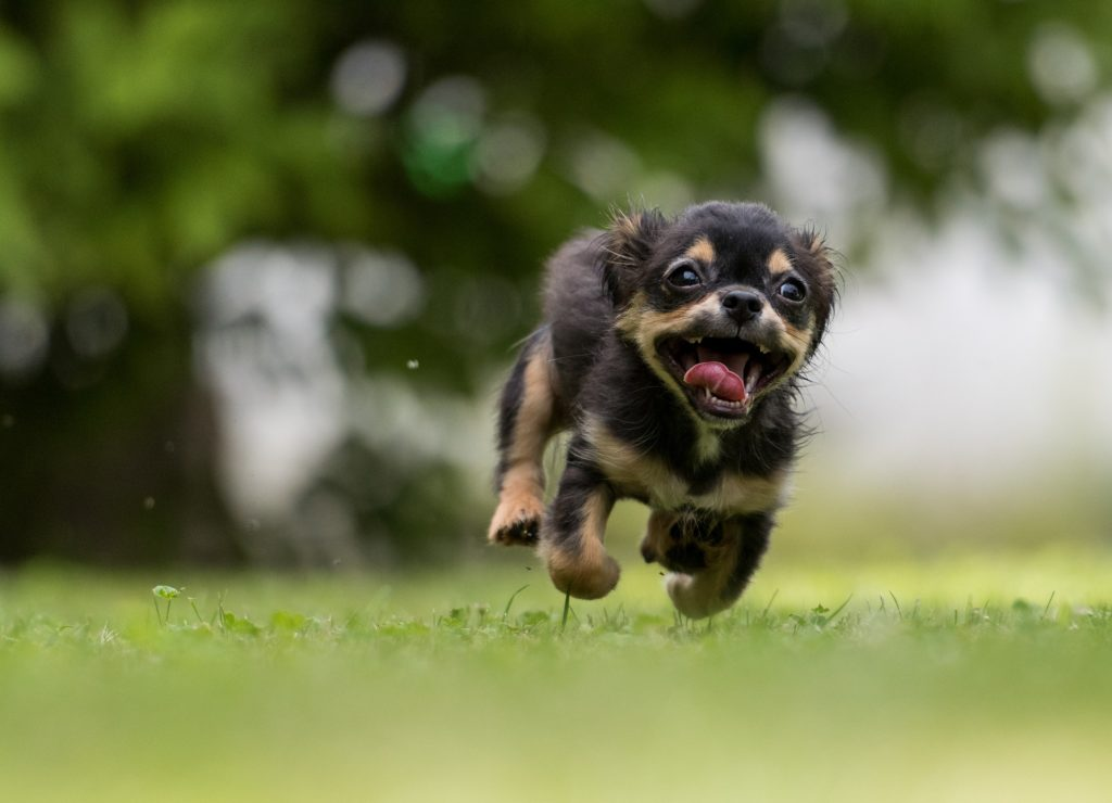 Dog running on grass