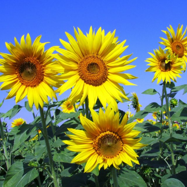 sunflowers in utah garden